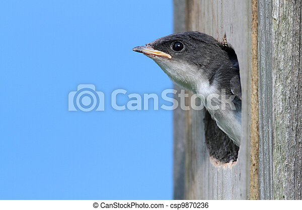 Baby Tree Swallow Begging For Food - csp9870236