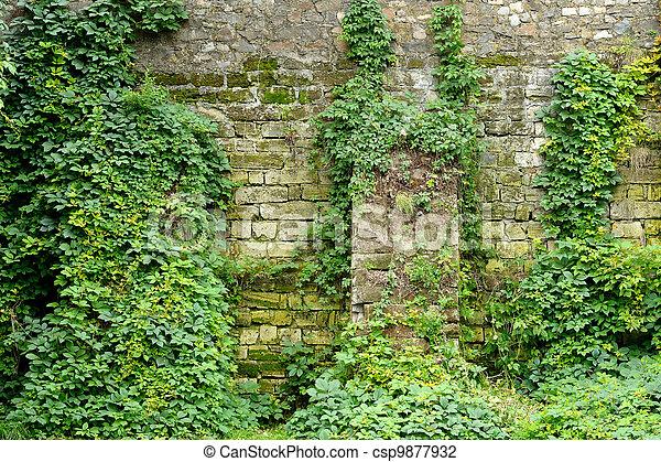 Photo de mur pierre vieux envahi lierre vieux - Comment se debarrasser du lierre ...