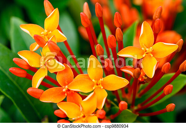 Close up bunch of red ixora flowers - csp9880934