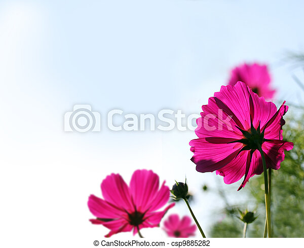 Pretty pink mexican aster or garden cosmos flowers - csp9885282