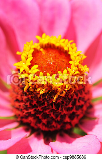 Macro of zinnia head with yellow stamen & pistil - csp9885686