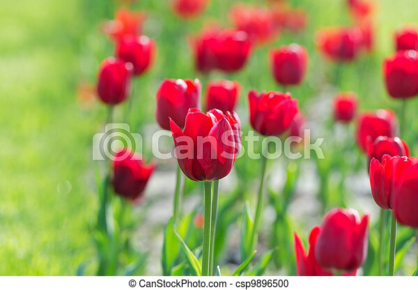 Garden with tulip flowers in summer - csp9896500