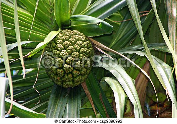 Archivi fotografici di ananas albero limahuli nazionale for Albero di ananas