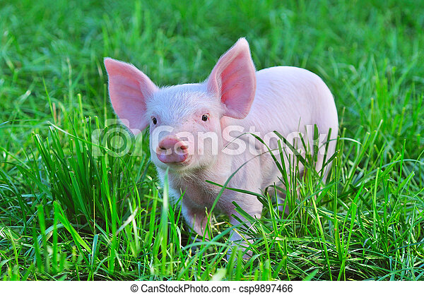 small pig - csp9897466