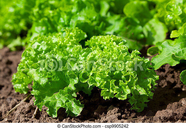 fresh salad /vegetable garden/lettuce plantation - csp9905242