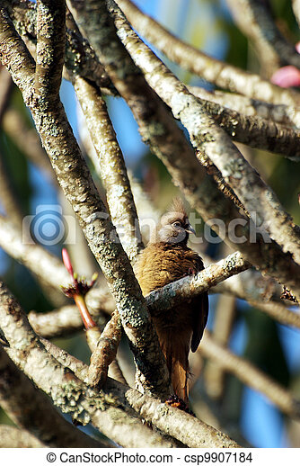 Long-tailed cuckoo hidden in a tree - csp9907184