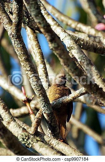 Long-tailed cuckoo hidden in a tree - csp9907184