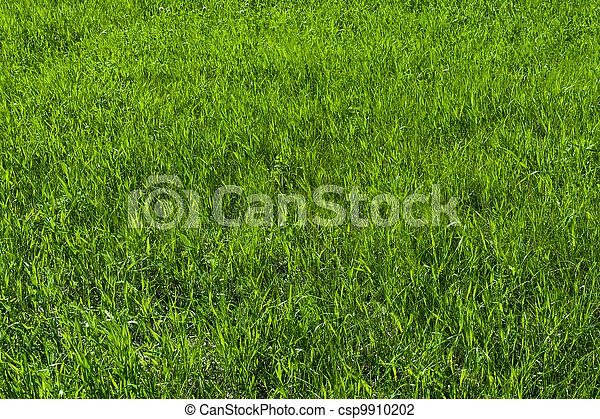 Green grass on the lawn , grass texture - csp9910202