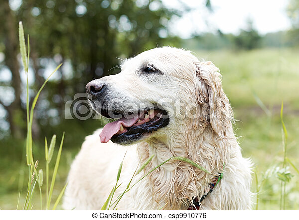 Portrait of Golden Retriever. Female, eight years old. - csp9910776