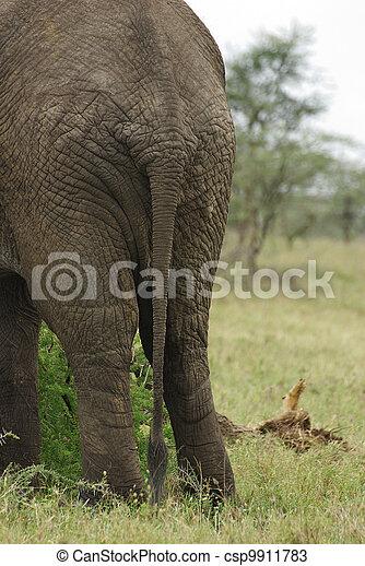 Elephant bottom close-up - csp9911783