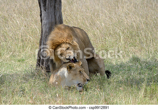Lion pair mating. - csp9912891