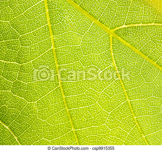 grapevine leaf macro as background - csp9915355