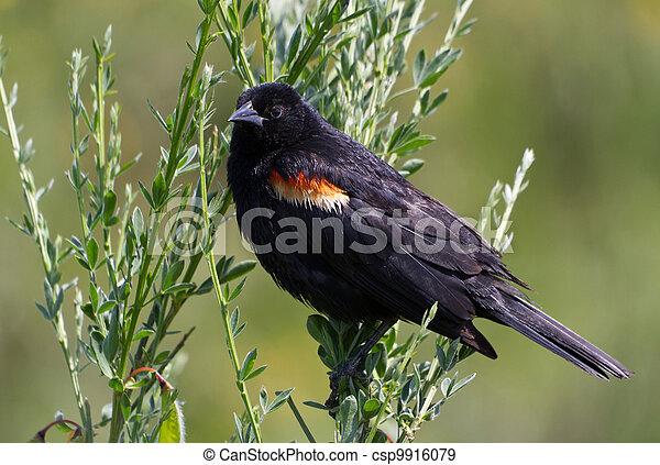 red wing blackbird - csp9916079