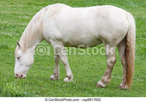 American Cream Draft Horse - csp9917652