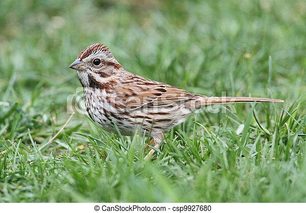 Song Sparrow (Melospiza melodia) - csp9927680
