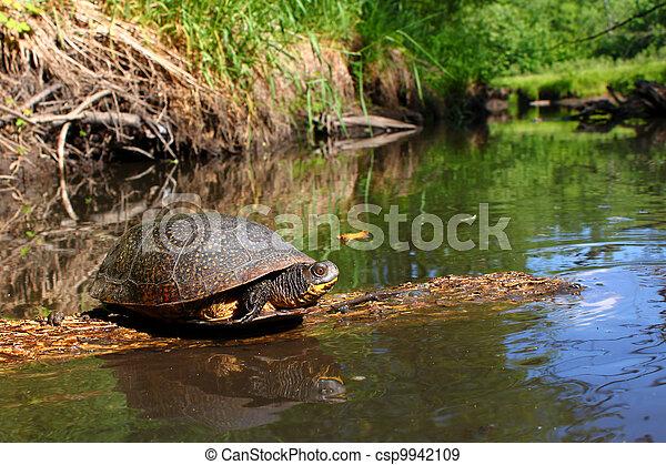 Blandings Turtle Basking on Log - csp9942109