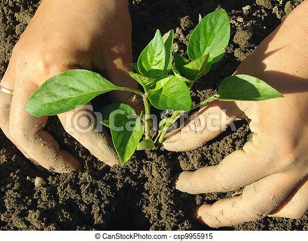 planting pepper seedlings - csp9955915