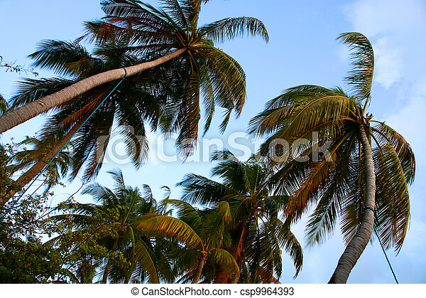 Coconut tree and sunset in the Maldives - csp9964393