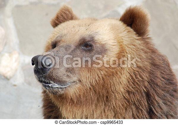 The brown bear close up, wild life  - csp9965433