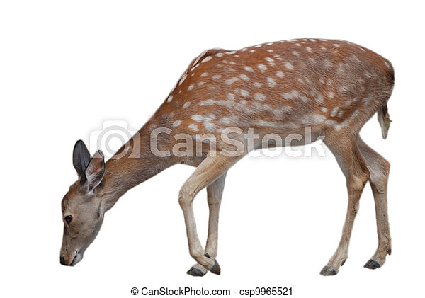 whitetail deer fawn isolated on white, wildlife - csp9965521