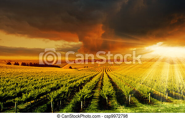 Amazing Vineyard Sunset - csp9972798