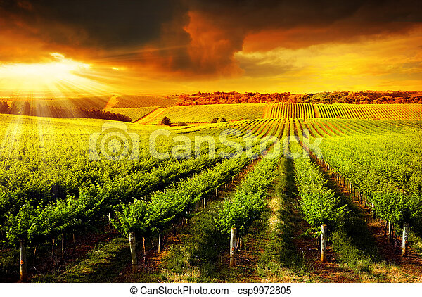 Stunning Vineyard Sunset - csp9972805
