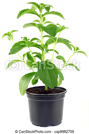 Stevia Rebaudiana Plant CutOut - csp9982759