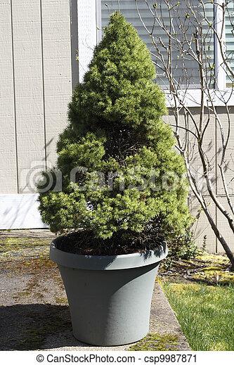 Evergreen Shrub in a Planter Pot - csp9987871