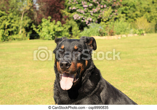 portrait of a purebred french sheepdog beauceron - csp9990835