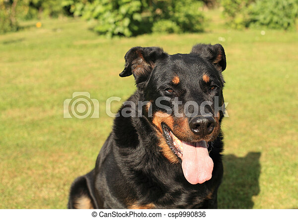 portrait of a purebred french sheepdog beauceron - csp9990836