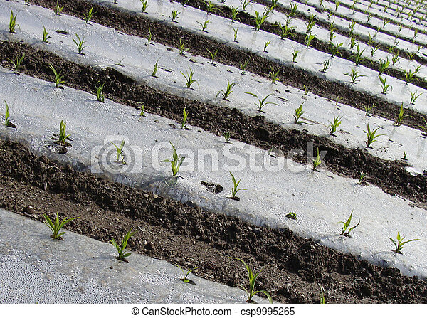 rows of young  green agricultural vegetation - csp9995265