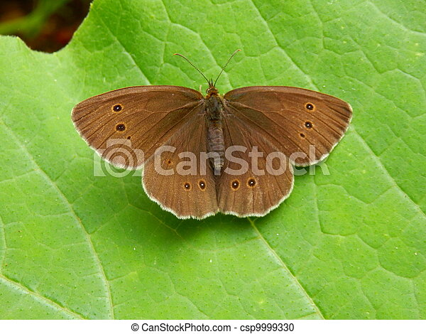 Ringlet Butterfly - csp9999330