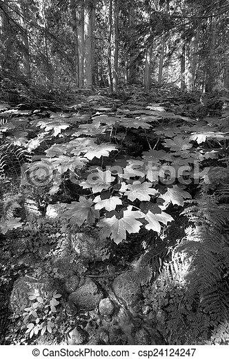 Vegetación forestal en Columbia Británica. Canadá - csp24124247