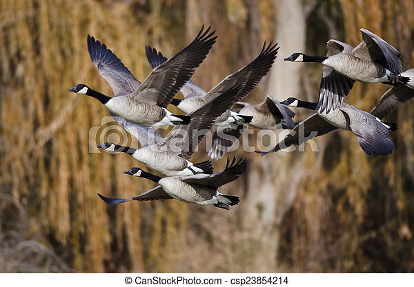 Canada Geese Flying Across the Autumn Woods - csp23854214