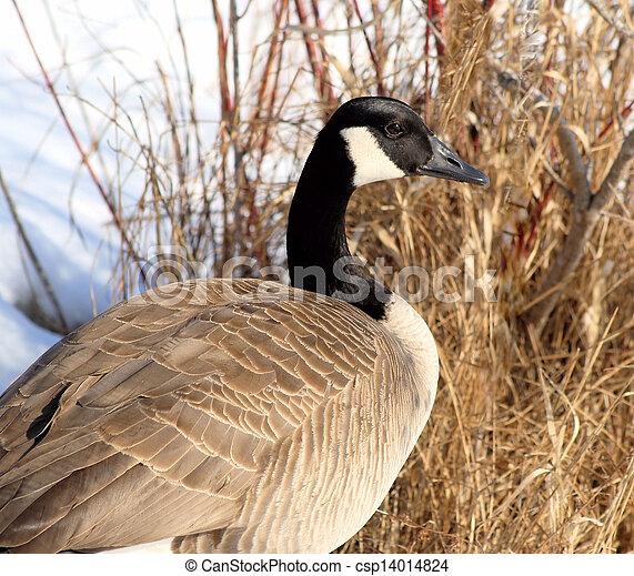 Canada Goose - csp14014824