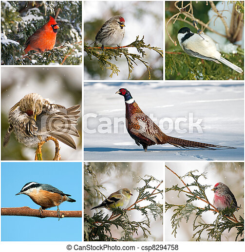 Canada winter birds collage. - csp8294758