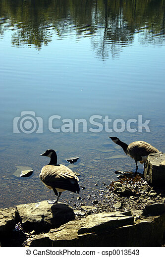 Canadian geese 1 - csp0013543
