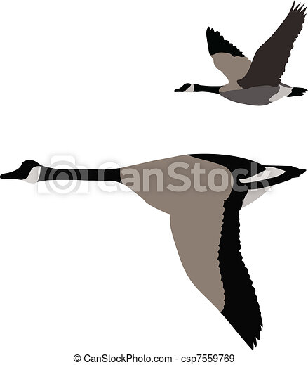 Canadian Goose Flying Drawing