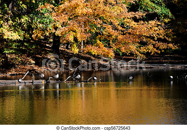 Canadian Geese Perch on Sunken Log - csp56725643