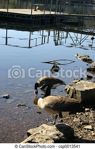 Canadian geese - csp0013541
