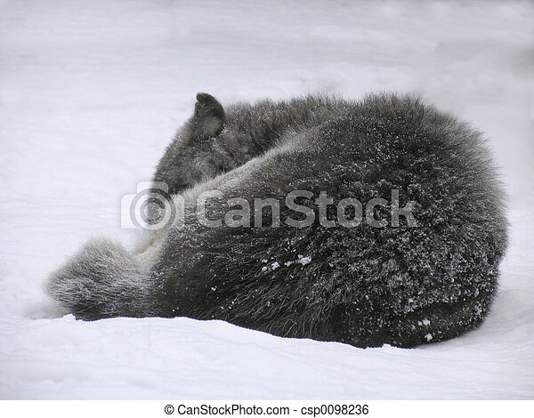 Canadian Wolf - csp0098236