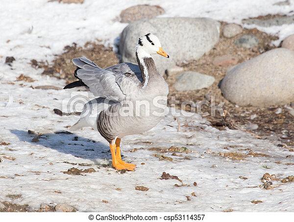 canard, hiver, neige - csp53114357