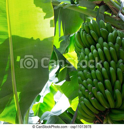 Canarian Banana plantation Platano in La Palma - csp11013978