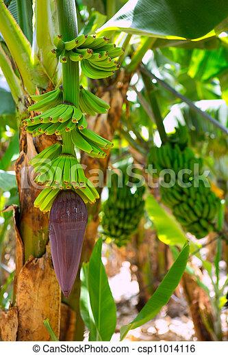 Canarian Banana plantation Platano in La Palma - csp11014116