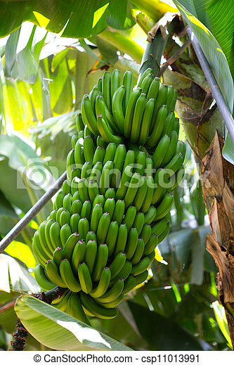 Canarian Banana plantation Platano in La Palma - csp11013991