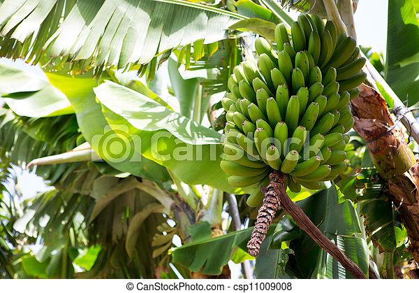 Canarian Banana plantation Platano in La Palma - csp11009008