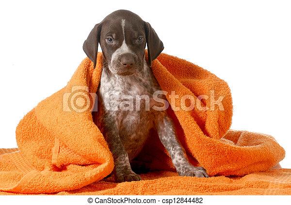 Spento prendere tedesco cane bagno shorthaired secco arancia asciugamano puntatore - Bagno in tedesco ...