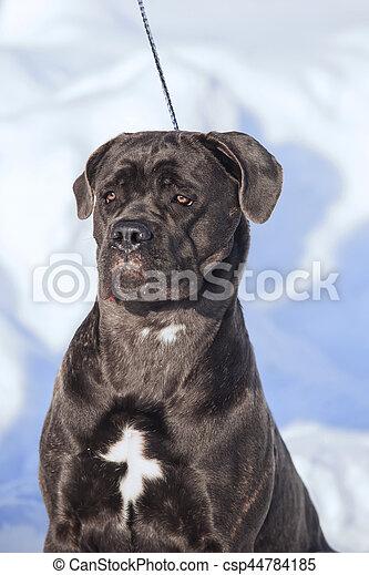 Cane Corso Italiano Dog Winter Portrait Portrait Of A Cane Corso