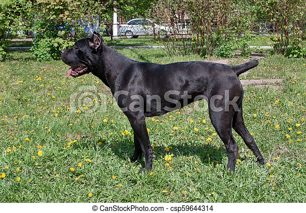 Cane Corso Puppy Is Standing On A Green Grass Cane Corso Italiano