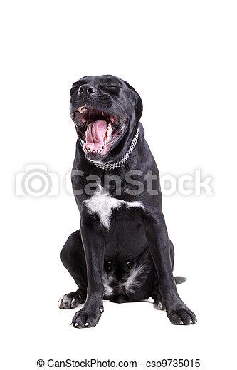 Cane Corso purebred dog - csp9735015